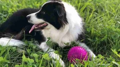 Photo of Are border collies chewers