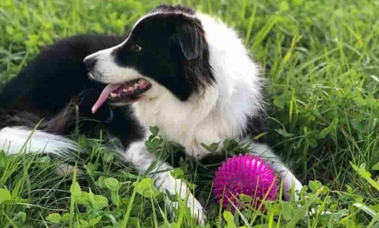 Are border collies chewers