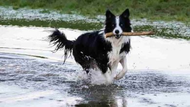 Photo of Are border collies good off leash dogs
