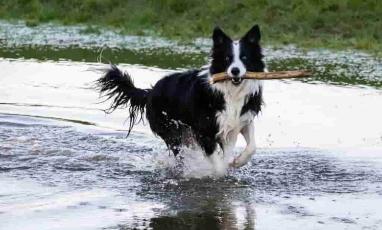 Are border collies good off leash dogs