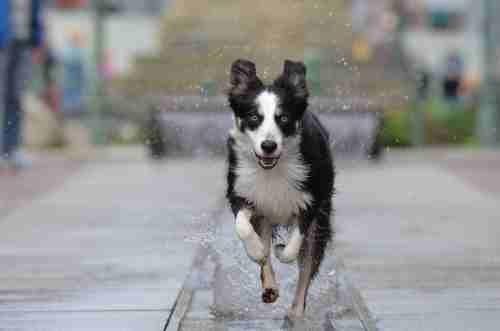 Photo of Can Border Collie go crazy