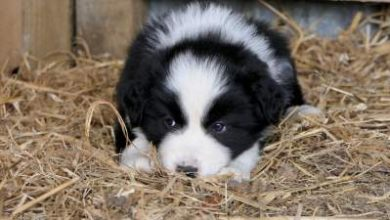 Photo of Do Border Collies have separation anxiety