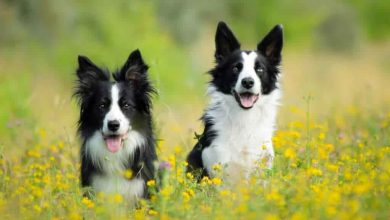 Photo of Do Border Collies need another dog