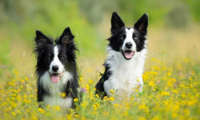 Do Border collies need another dog