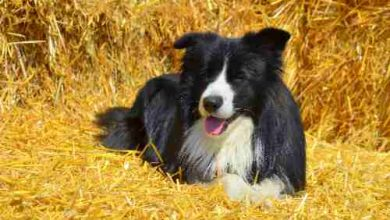 Photo of How often should a collie be bathed