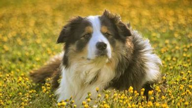 Photo of Should I shave my collie in the summer