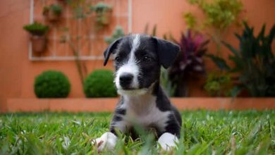 Photo of What do I need to know about my Border collie puppy