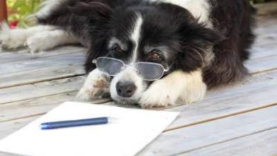 Photo of What is the average IQ of a Border collie