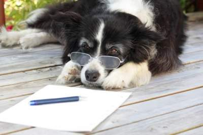 What is the average IQ of a Border collie