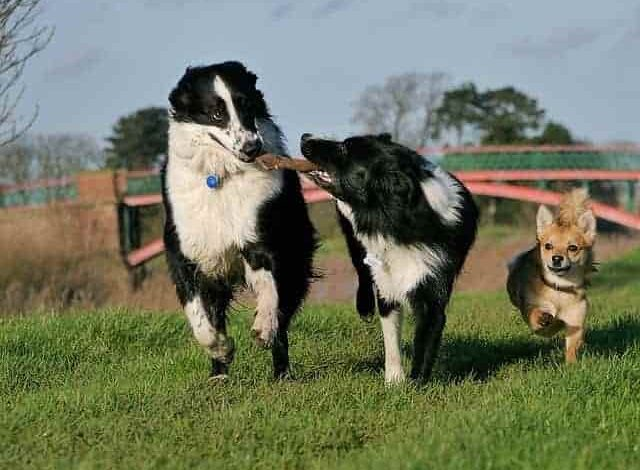 Which is better male or female Border collie