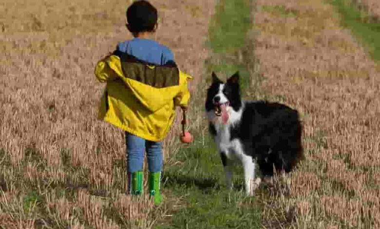Will border collies protect their owners