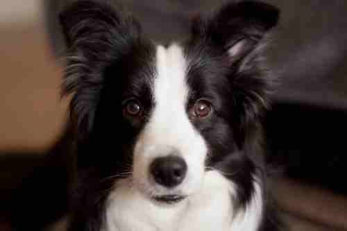 Photo of Do Border Collies have poor eyesight