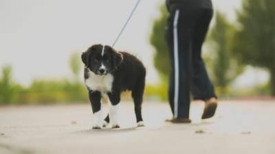 Are Border collie puppies hard to train