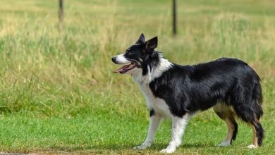 Photo of How far should you walk a border collie