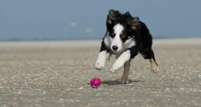 Photo of How do you mentally stimulate a Border collie puppy