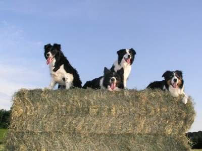 Photo of Are border collies jealous dogs