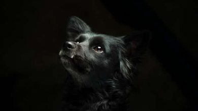 Photo of Is a Border collie lab mix a good family dog