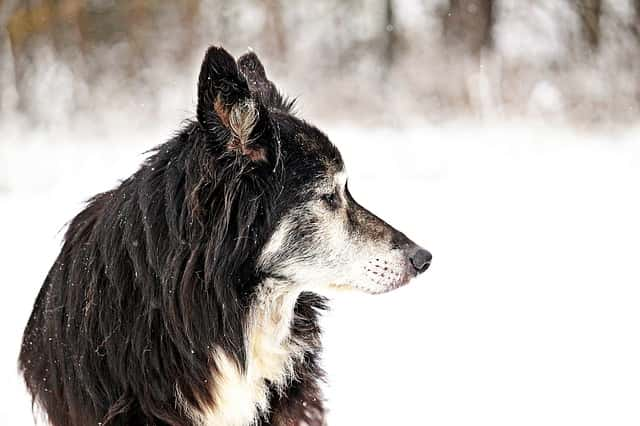 Photo of At what age do border collies slow down