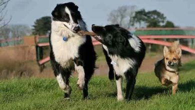 Photo of Can two male Border Collies live together