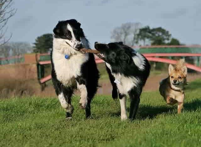 Can two male Border Collies live together