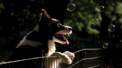 Photo of Can you leave a border collie at home while you work