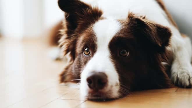 Do Border Collies calm down after getting neutered or spayed