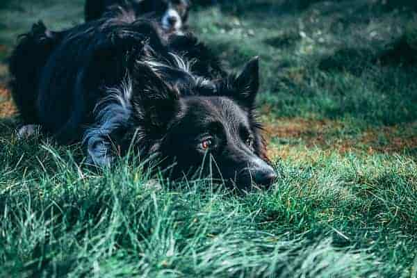Why does my border collie cry