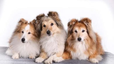 Photo of What is the smallest breed of collie