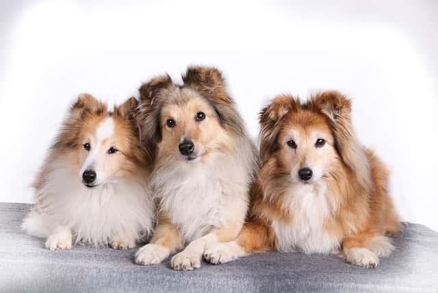 What is the smallest breed of collie