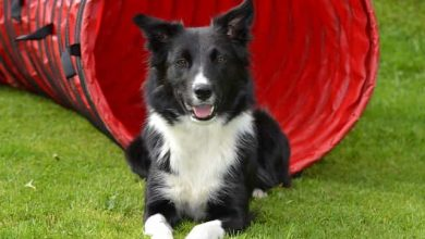 Photo of 10 signs your Border collie has cancer