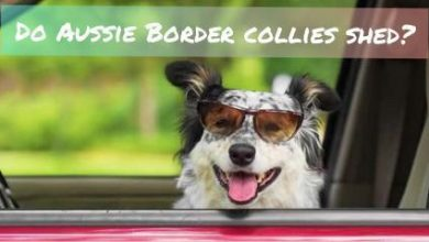 Photo of Do Aussie Border Collies shed