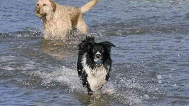 Photo of Which dog is better Golden retriever or Border collie