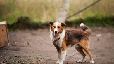 Photo of Which dog is smarter Border collie or Australian shepherd