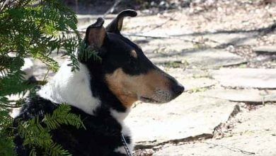 Photo of Are Smooth Collies Aggressive
