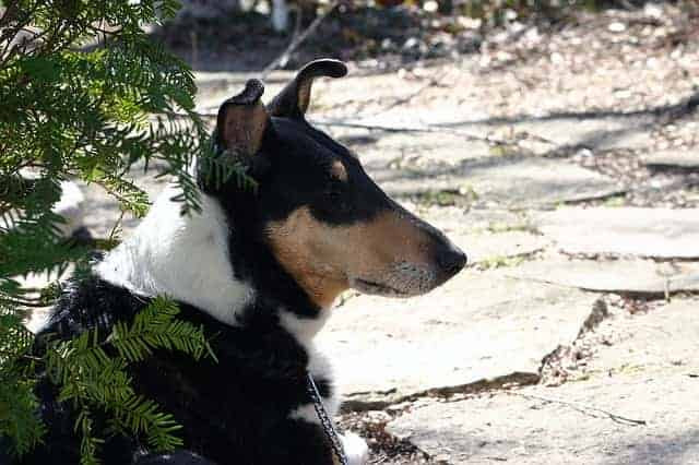 Are smooth collies aggressive