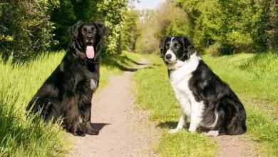 Photo of House Training Of Border Collies