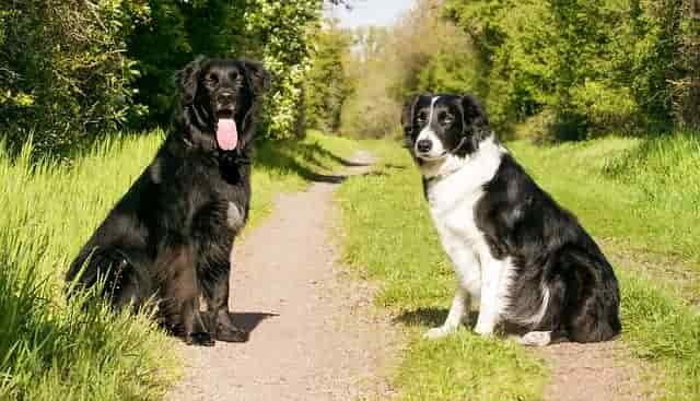 House training of Border collies