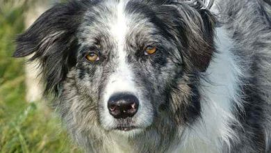 Photo of Are Blue Merle Border Collies rare