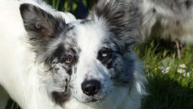 Photo of Do Merle Border collies have more health problems