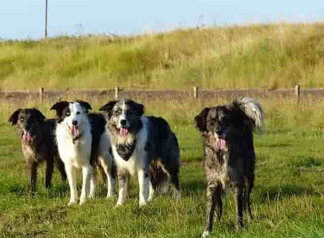 What is the rarest Border collie color