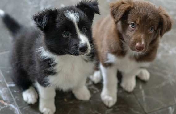 How far can I walk my 4 month old border collie