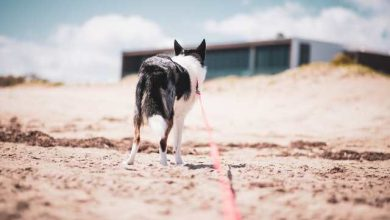 Photo of Are border collies good on leash