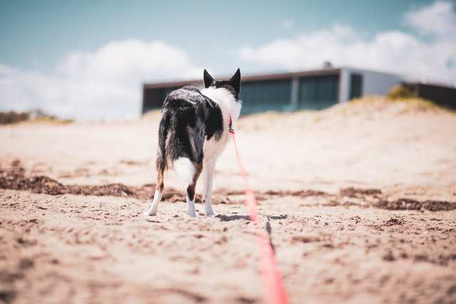 Are border collies good on leash