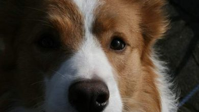Photo of Can border collies be blonde