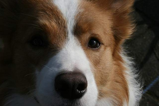 Can border collies be blonde