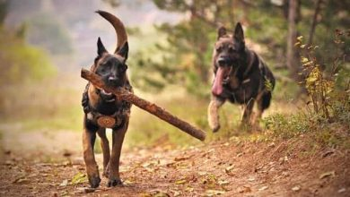 Photo of Border collies Vs German Shepherds: Which is best?