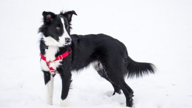 Photo of Why are collies no longer popular?