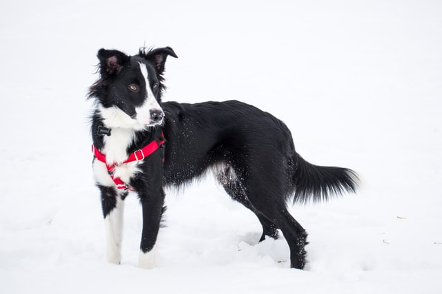 Why are collies no longer popular