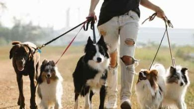 Photo of How do you tell if your dog is an Australian shepherd or border collie